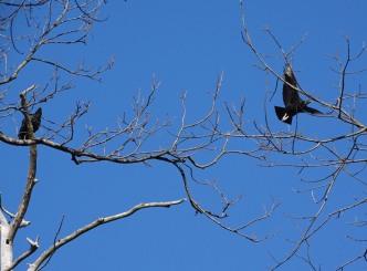 black-vulture5