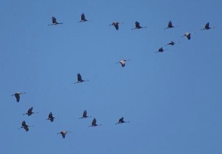 sandhill-cranes1