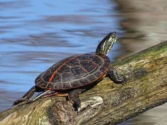southern-painted-turtle1