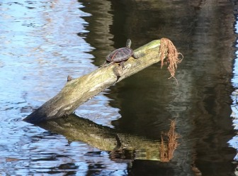 southern-painted-turtle2