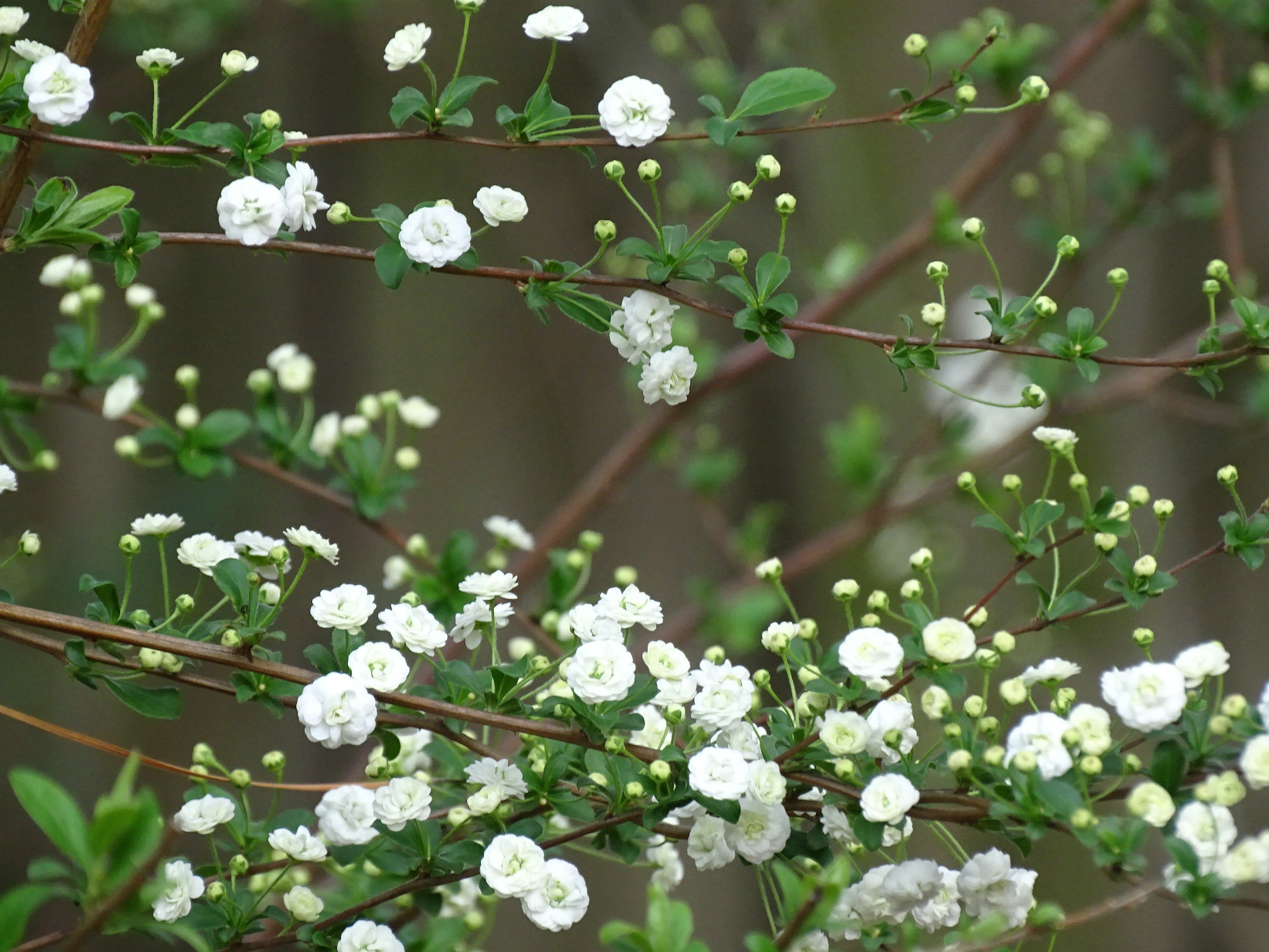 White Flowering Bush Walking On A Country Road