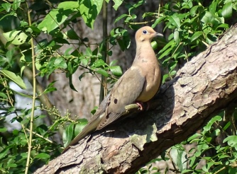mourning dove1