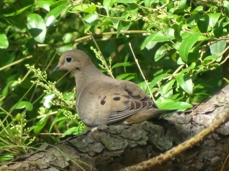mourning dove2