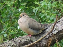 mourning dove4