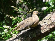 mourning dove5