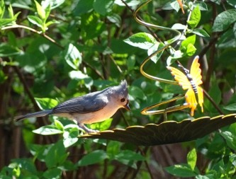 Tufted titmouse1