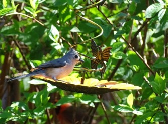 Tufted titmouse3