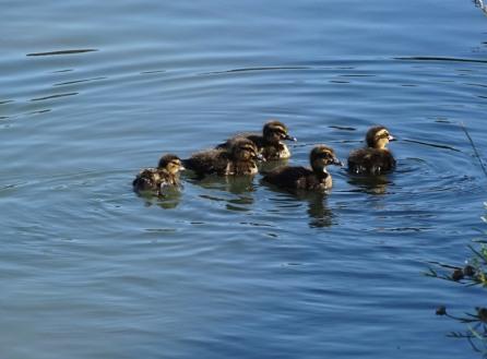 duck family1