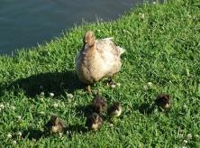 duck family5