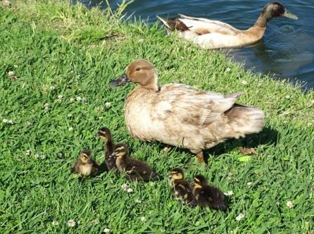 duck family6