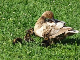 duck family8