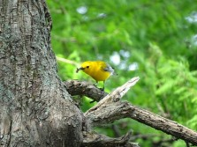 Prothonotary Warbler2