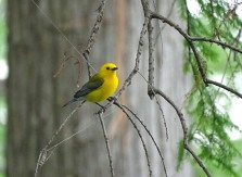 Prothonotary Warbler3