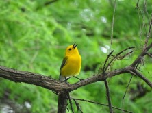 Prothonotary Warbler4