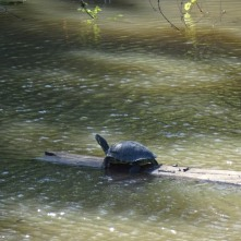 turtle floating downsteam on a log