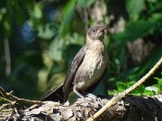 1-Juvenile grackle