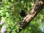 2_adult grackle