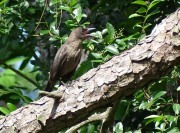 3-Juvenile grackle