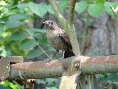 5-Juvenile grackle