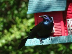 9-adult grackle at feeder