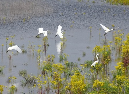 colony of great egrets1