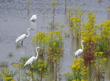 colony of great egrets3