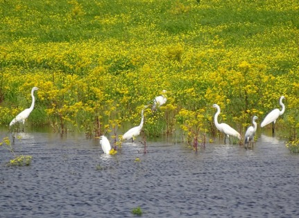 colony of great egrets4