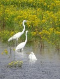 great egrets 11