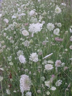Queen Anne's Lace 10