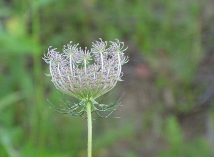 Queen Anne's Lace 11