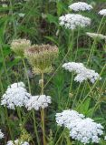 Queen Anne's Lace 12