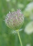 Queen Anne's Lace 13