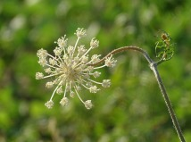 Queen Anne's Lace 14