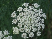 Queen Anne's Lace 16