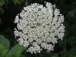Queen Anne's Lace 4