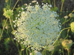 Queen Anne's Lace 5
