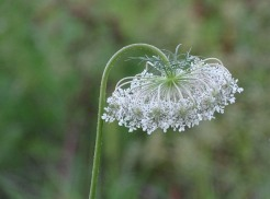 Queen Anne's Lace 6