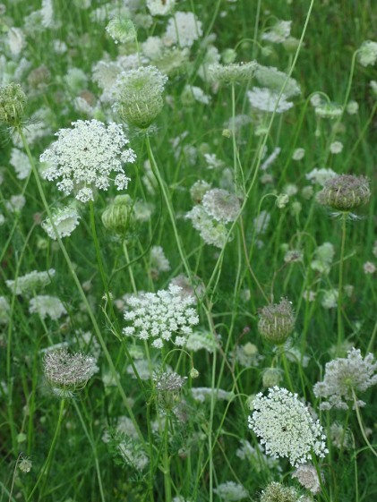 Queen Anne's Lace 7