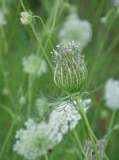 Queen Anne's Lace 8