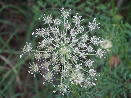 Queen Anne's Lace 9