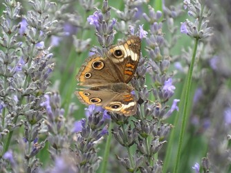 Common buckeye 2
