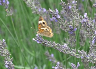 Common buckeye 3