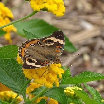 Common buckeye 4