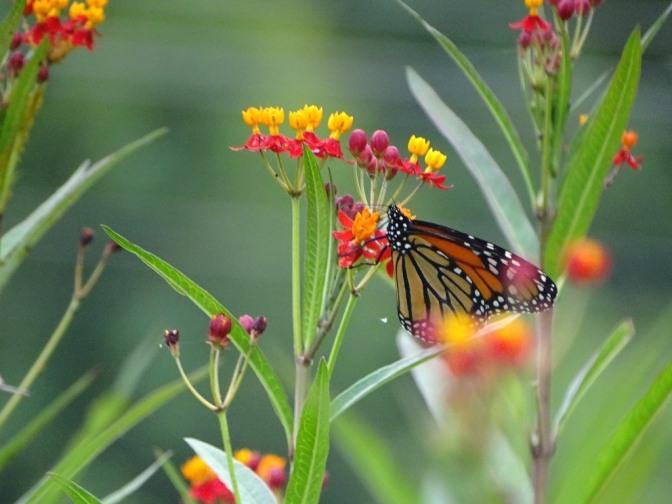 Monarch butterfly on Scarlet milkweed 1