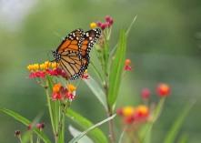 Monarch butterfly on Scarlet milkweed 2