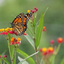 Monarch butterfly on Scarlet milkweed 2