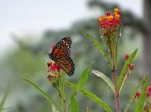 Monarch butterfly on Scarlet milkweed 3