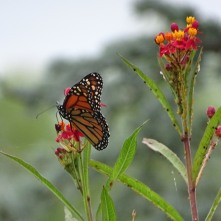 Monarch butterfly on Scarlet milkweed 3