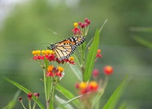 Monarch butterfly on Scarlet milkweed 4