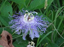 Passion flower 3